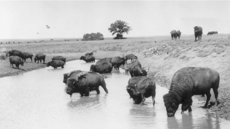 Black & white image of buffalo drinking from watering hole