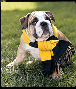 Bulldog in yellow and black striped scarf.