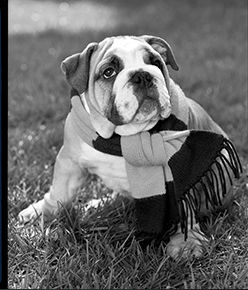 Black-and-white image of bulldog wearing scarf